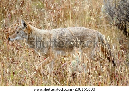 Western Coyote (Canis latrans) in a field in Yellowstone National Park - stock photo