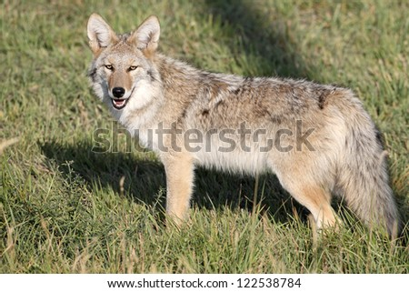 Western Coyote in Wapiti Wyoming - stock photo
