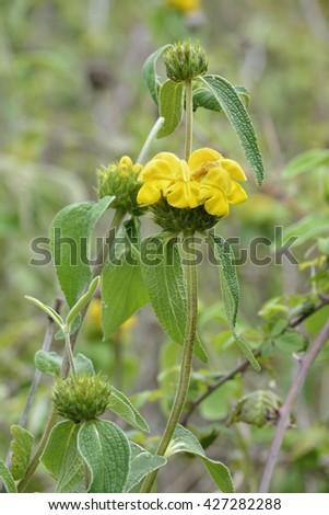 Western Cyprus Jerusalem Sage - Phlomis cypria ssp occidentalisEndemic to Cyprus - stock photo