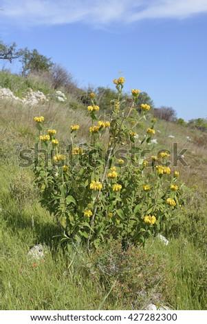 Western Cyprus Jerusalem Sage - Phlomis cypria ssp occidentalisIn Hillside habitat. Endemic to Cyprus - stock photo