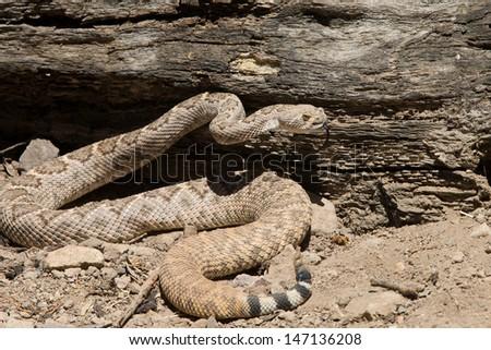 Western Diamond-backed Rattlesnake in Desert scene - stock photo