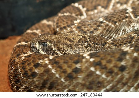 western diamondback rattlesnake shoving its camouflage pattern on skin in a terrarium - stock photo