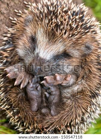 Western European Hedgehog (Erinaceus, europaeus) Preparing for Hibernation - stock photo