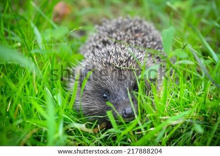 Western European Hedgehog (Erinaceus) in a grass - stock photo