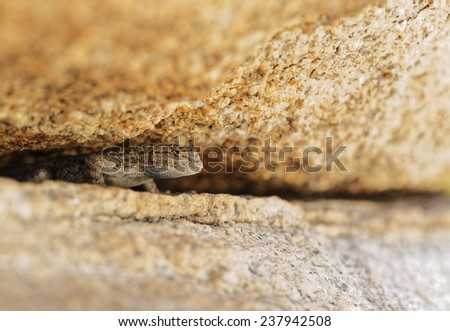 Western Fence Lizard Peaking out from underneath a Boulder - stock photo