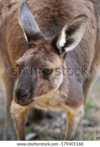 Western Grey Kangaroo - stock photo