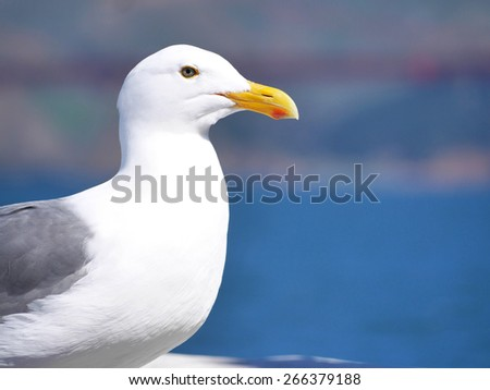 western gull - stock photo