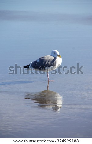 Western gull (Larus occidentalis) and reflection on beach,  Seaside,  Oregon Coast