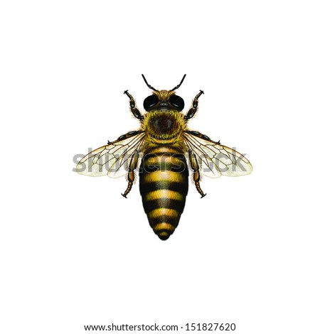 apis mellifera the life of the western honey bee essay The western honeybee, apis mellifera, is a species of crucial economic, agricultural, and environmental importance due to the activities of beekeepers it .