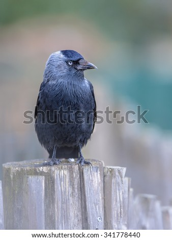 Western Jackdaw (Corvus monedula) looking bold in the camera. Generally wary of people in the forest or countryside, western jackdaws are much tamer in urban areas. - stock photo