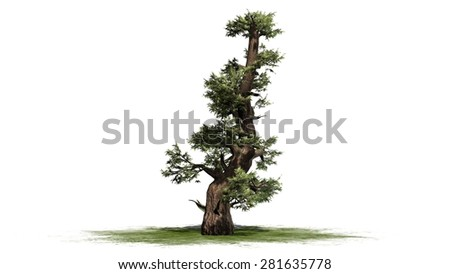 Western Juniper tree - isolated on white background