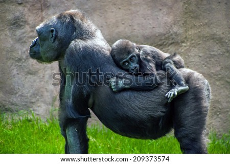 Western lowland gorilla (Gorilla gorilla gorilla) in Prague zoo - stock photo