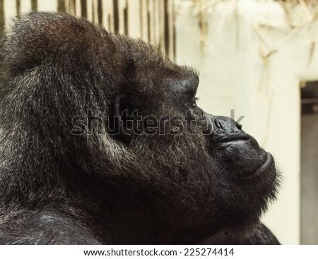 Western lowland gorilla (Gorilla gorilla gorilla). Portrait photo. Side view. - stock photo