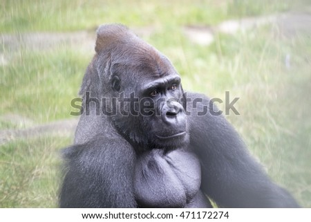 Western Lowland Gorilla (Gorilla gorilla gorilla)  spotted outdoors in the wild
