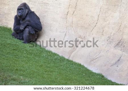 Western lowland gorilla or Gorilla gorilla gorilla enjoying some rest - stock photo