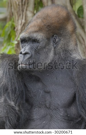 Western Lowland Gorilla portrait of head and chest