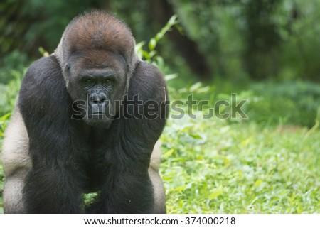 Western Lowland Silverback Gorilla Checking - stock photo