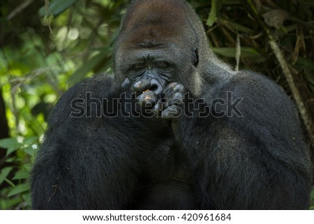 Western Lowland Silverback Gorilla Covers His Mouth