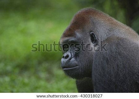 Western Lowland Silverback Gorilla Magnificent Animals From African