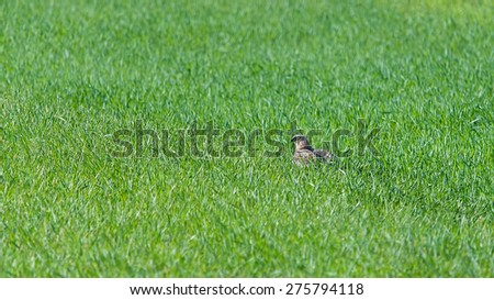 Western marsh harrier in grass land - stock photo
