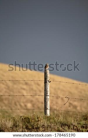 Western Meadowlark (Sturnella neglecta) - stock photo