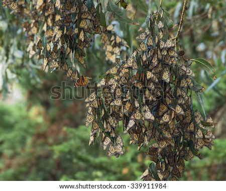 Western monarch butterfly migration. Butterfly Grove in Pismo Beach, California, USA. Photo taken in mid November, 2015.  - stock photo