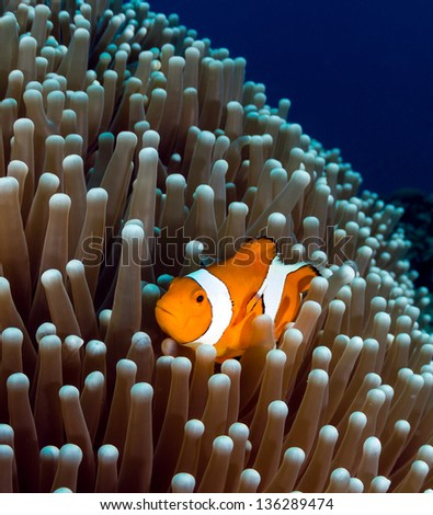 Western Pacific Clownfish shelters in its host anemone on a tropical coral reef - stock photo
