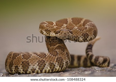 Western Rattlesnake coiled and ready to spring - stock photo