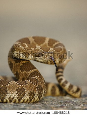 Western Rattlesnake coiled with forked tongue extended - stock photo