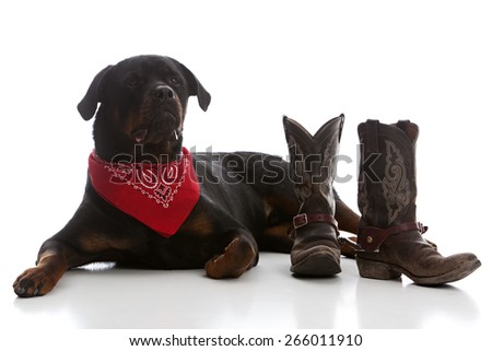 Western Rottie.  Adorable rottweiler dressed in a red bandanna and lying next to cowboy boots.  Isolated on white.   - stock photo