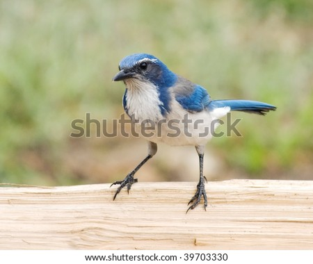 Western Scrub Jay (Aphelocoma californica) on the Wooden Fence - stock photo
