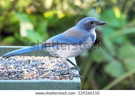 Western Scrub-Jay (Aphelocoma californica) perched on a feeder - stock photo