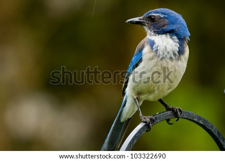 Western Scrub Jay (Aphelocoma californica). The Western Scrub Jay is a species of scrub-jay native to western North America.