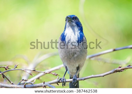 Western Scrub-Jay Perched on a Branch in a Botanical Garden - stock photo