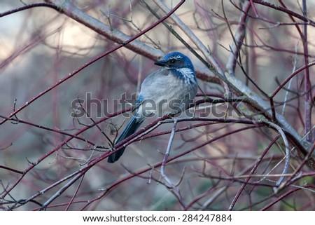 Western Scrub Jay Perched on Tree Branch in Winter Season - stock photo