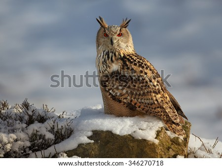 Western siberian eagle owl Bubo bubo sibiricus sitting on a rock in winter arctic forest covered by snow, blue background. - stock photo