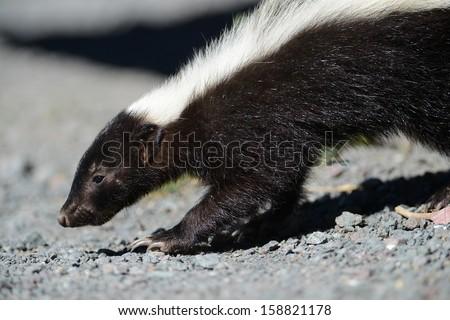 western striped skunk closeup - stock photo