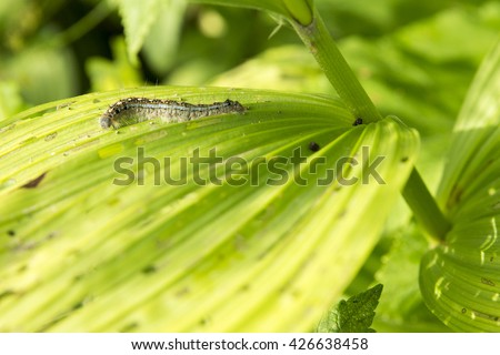 Western Tent Caterpillar (Malacosoma fragilis) crawling across a green broad leaf in the Canadian rocky mountains at Waterton National Park.