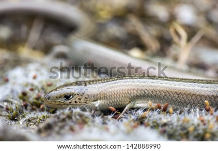 Western Three-Toed Skink (Chalcides striatus) - stock photo