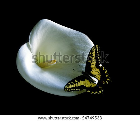 Western Tiger Butterfly on White Calla Lily flower - stock photo