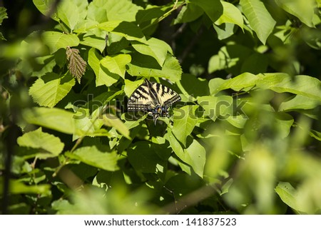 Western tiger swallowtail butterfly