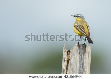 Western yellow wagtail (Motacilla flava) in natural habitat - stock photo