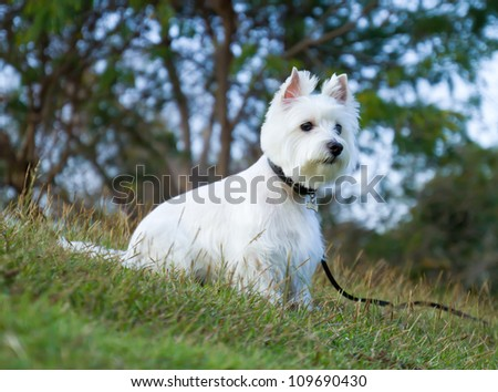 westie dog in relax time - stock photo
