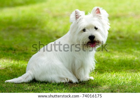 Westie dog on the green grass - stock photo