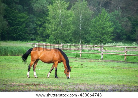 Westphalian bay mare with a black mane grazing in a meadow in a forest with birches and pines, the morning after the rain