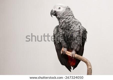 Wet African Grey Parrot - stock photo