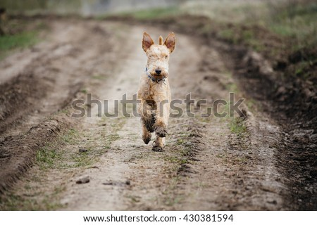 Wet and dirty dog terrier running along a country road - stock photo