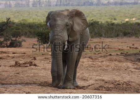 Wet and muddy Elephant bull at the waterhole. - stock photo