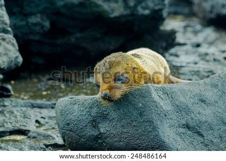 wet baby sea lion in san cristobal galapagos islands ecuador - stock photo