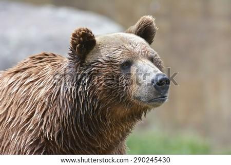 wet brown bear - stock photo